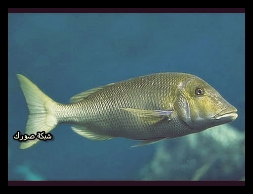 تفسير السمك في المنام لابن سيرين Dream Fish