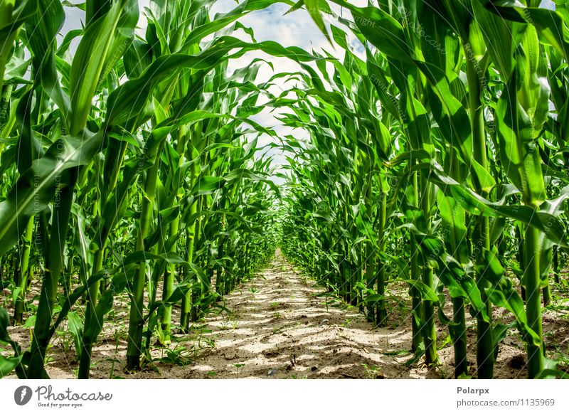 Corn plants on a field Sky  a Royalty Free Stock Photo