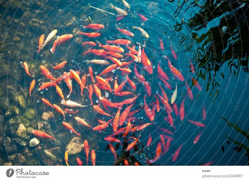 Water Red Ocean Animal  a Royalty Free Stock Photo from