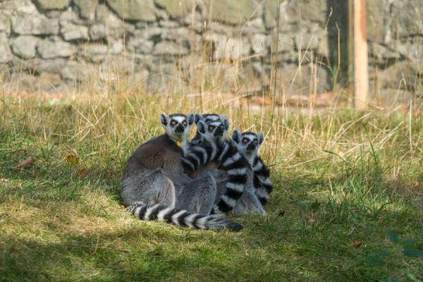lemurs-fullframe