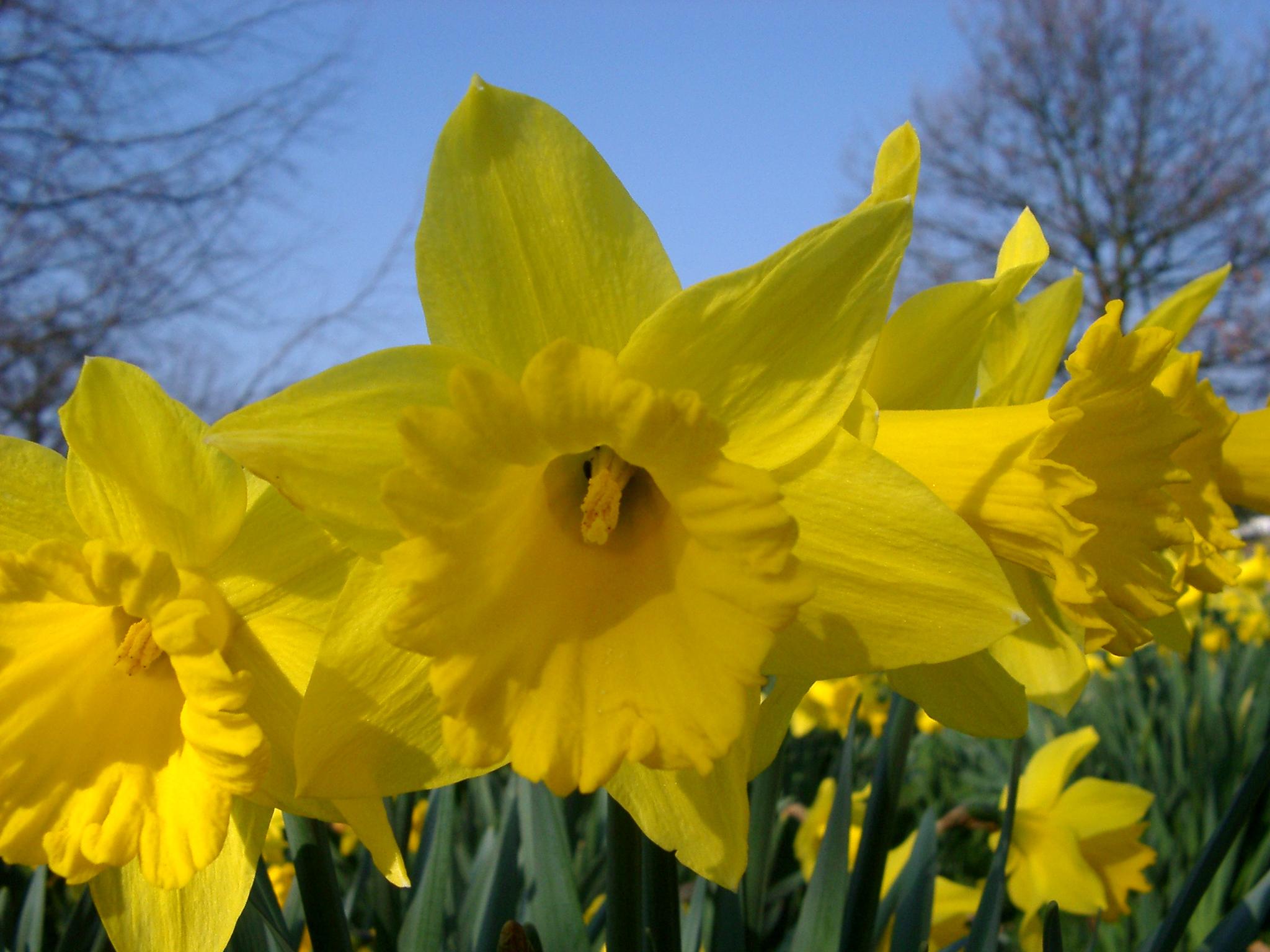 Field Wallpaper Hd Free Stock Photo Of Daffodil Photoeverywhere
