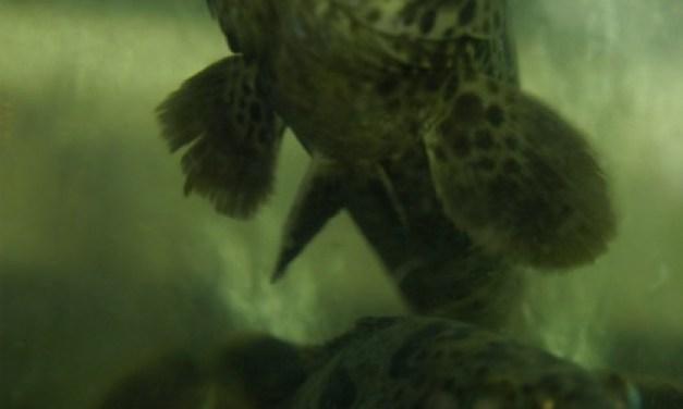 Show Fish