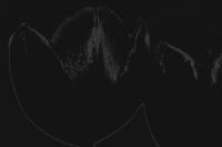 tulpen 9 - PHOTOGALERIE WIESBADEN - dunkel-schwarz