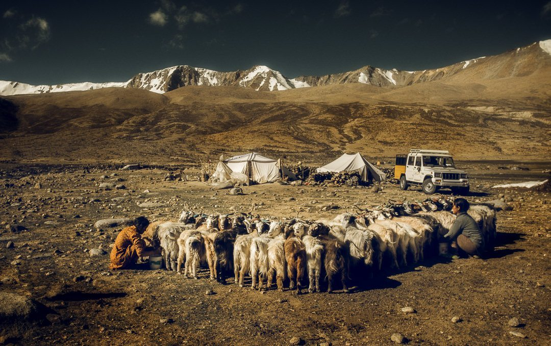 changpa nomads with goats