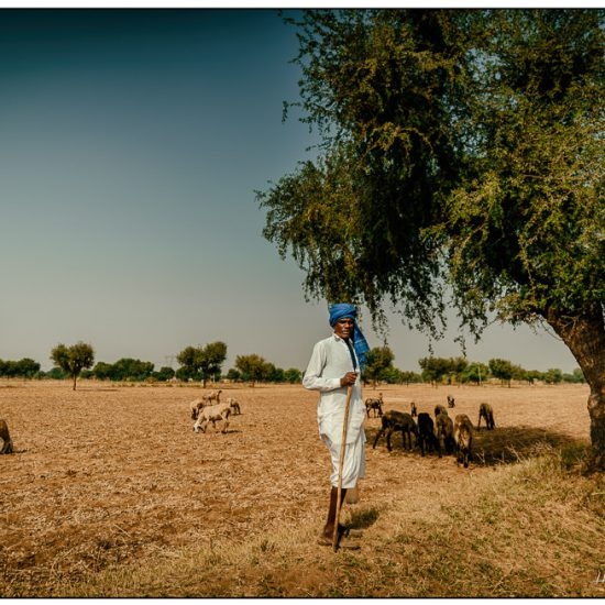 goatherd in rajasthan by a tree