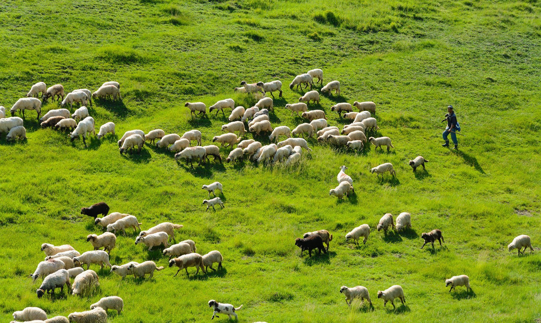 a shepherd leads his flock of sheep across green fields in Northern Romania