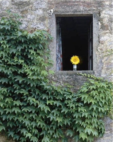A Tuscan Sunflower
