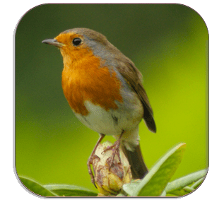 Photo Coaster - Red Robin - isolated on white