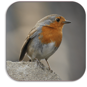 Photo Coaster - Robin in Winter - by Dave Mutton Photography