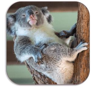 Photo Coaster - koala Bear - Australia - by Dave Mutton Photography
