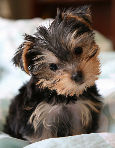 Yorkie pup tilting his head at the camera