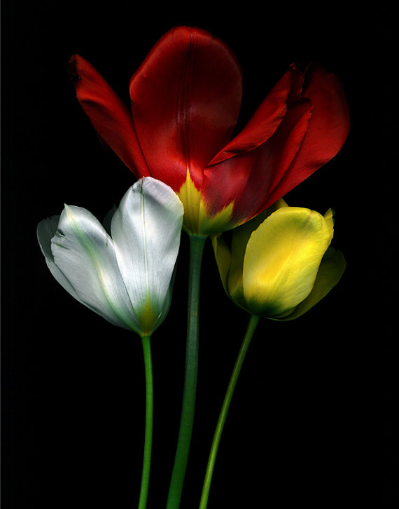 red yellow white tulips