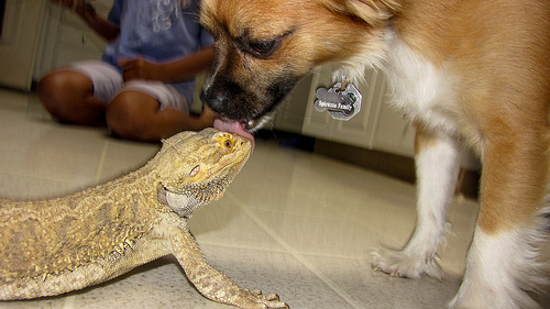 Cute Baby Lizards Wallpaper 22 Cool Pictures Of Bearded Dragons