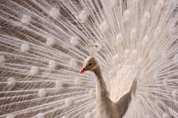 Bird Of Paradise Hd Wallpaper 17 Cool Pictures Of Albino Animals