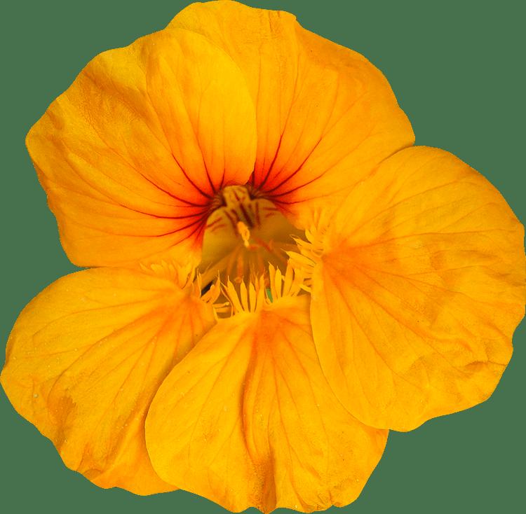 fleurs detourees au format png libres
