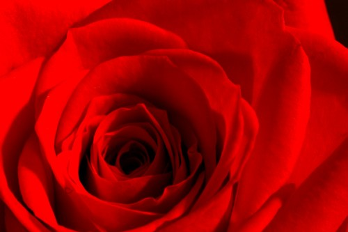 • Detailed rose •
