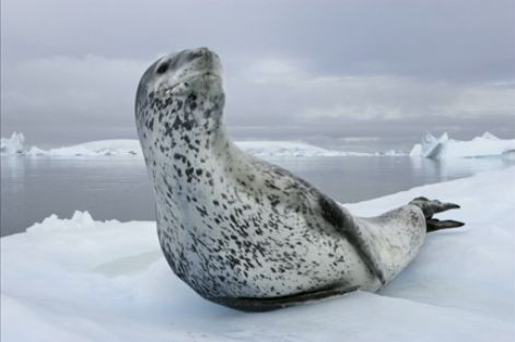 Leopard Seal On The Ice