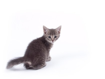 Young nine weeks old fluffy grey striped kitten over white