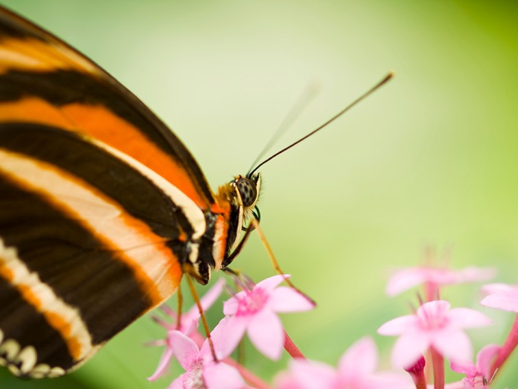 Beautiful Banded Orange Heliconian is feeding on pink flowers
