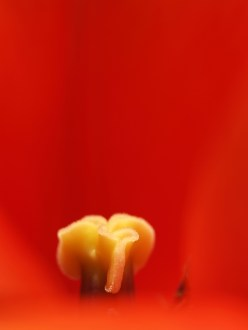 Extreme macro shot of a red tulip