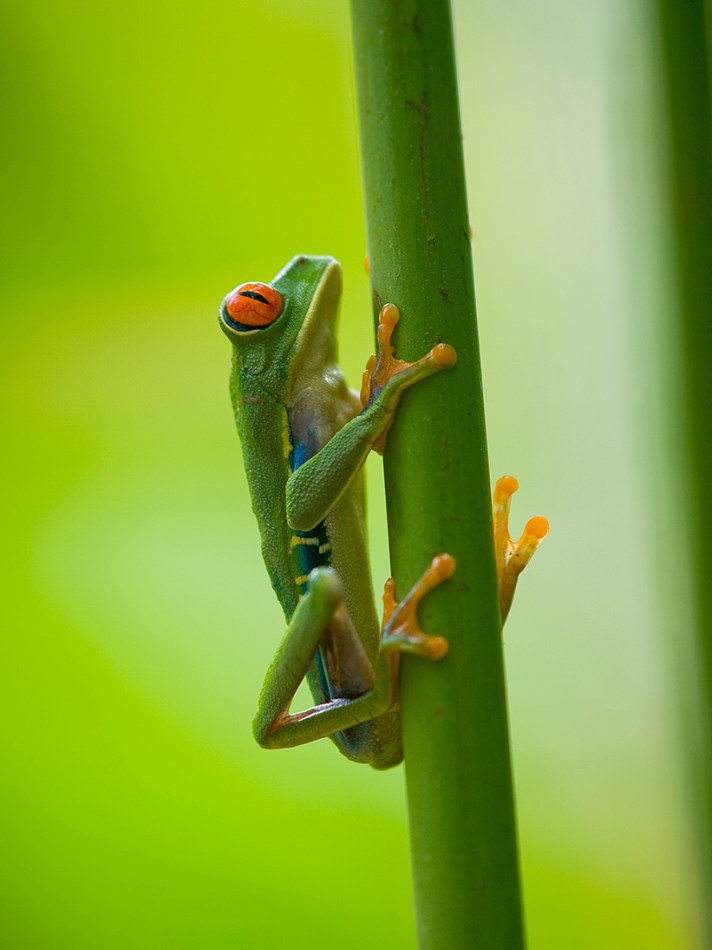 The famous red eyed tree frog (Agalychnis Callidryas)