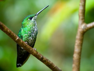 The Green-crowned Brilliant (Heliodoxa jacula) hummingbird in Costa Rica