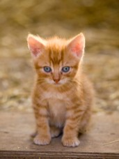Cute little farm kitten with bright blue eyes
