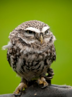 Angry looking little owl (athene noctua) perched on a branch