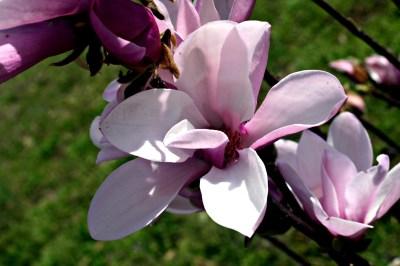 Spring Blossom by Diana Birdwell