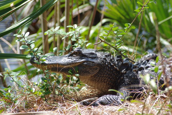 Alligator Mississippiensis by Ashley Dudek