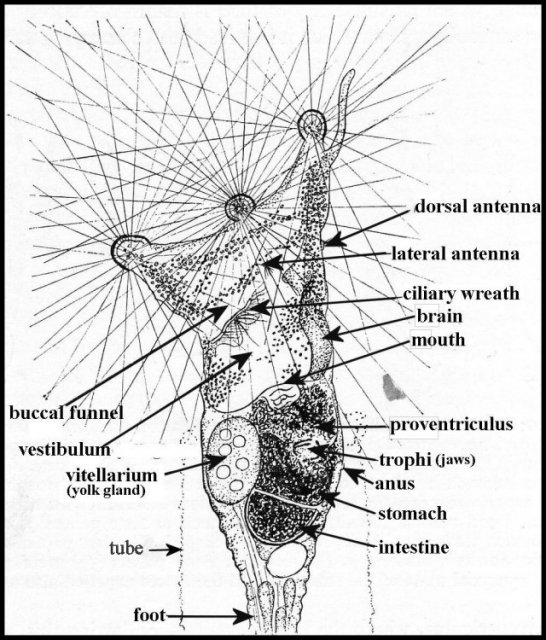 rotifer diagram labeled how to do orbital diagrams view topic collotheca