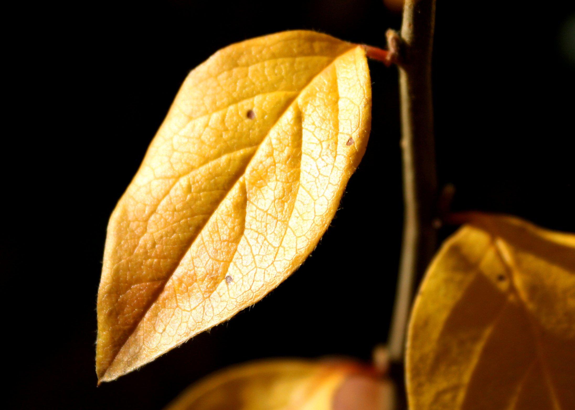 Autumn Leaf Fall Wallpaper Golden Leaf Picture Free Photograph Photos Public Domain