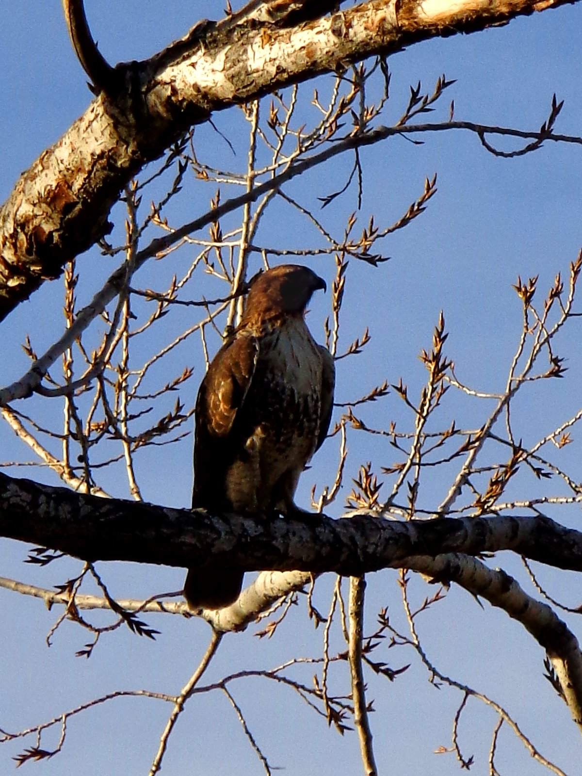 Hawk On Tree Branch Picture Free Photograph Photos