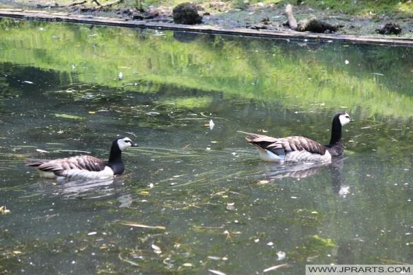 Schwimmen Weißwangengänse (Nonnengänse)