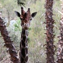 Girafe, réserve africaine de Sigean, 2014