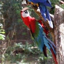Ara rouge et ara bleu