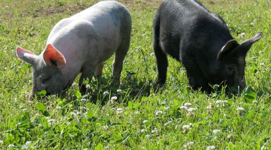 jeunes cochons, Auvergne, juillet 2018