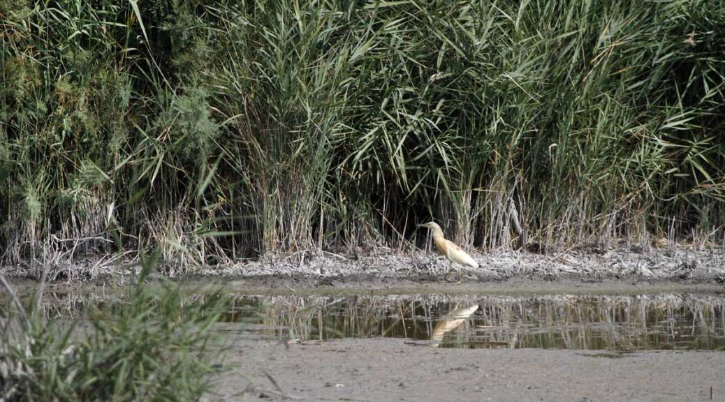 crabier chevelu, centre de découverte du Scamandre, août 2018