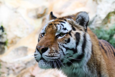 Tigre, zoo de La Barben (13), octobre 2011