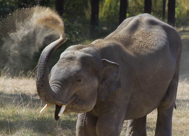 éléphanteau d'Asie, Le Pal (Allier), juillet 2019