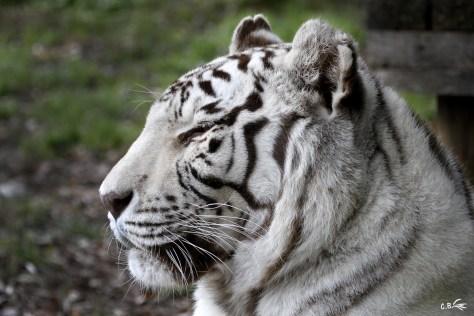 Tigre blanc, Touroparc, novembre 2017