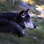 Loup du Canada, Le Pal, août 2019