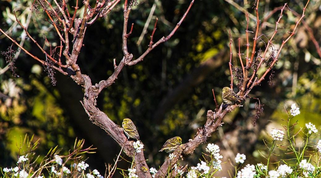Des oiseaux serin cini sur un cep de vigne