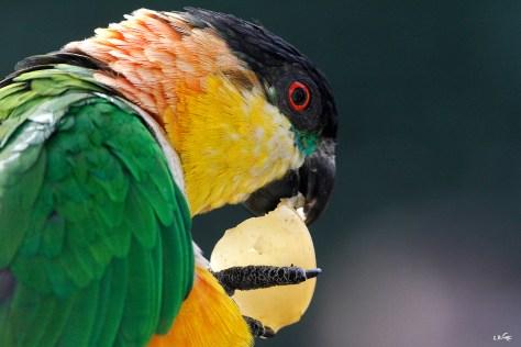 Caique maipouri, Touroparc zoo, novembre 2017