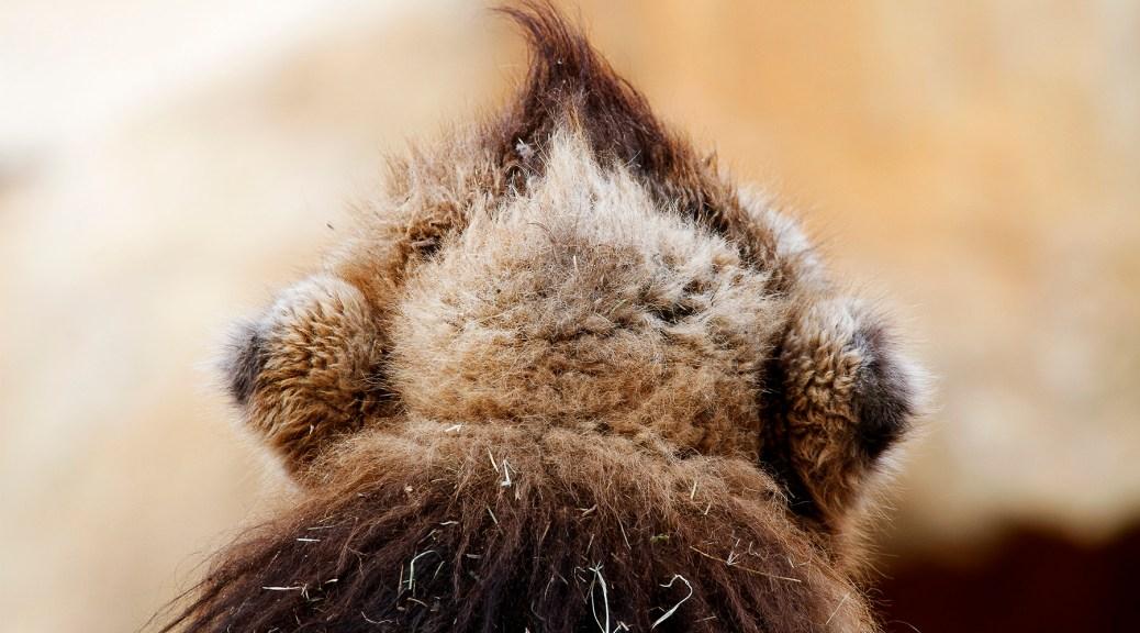 Tête d'un chameau de dos, Touroparc zoo, novembre 2017