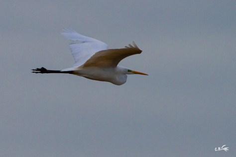 Grande aigrette en vol dans la réserve naturelle du Scamandre