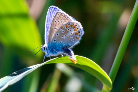 Papillon, Azuré, réserve naturelle du Scamandre, juin 2020