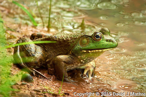 Bullfrog in a Pond. Summer Nature at the Sourland Mountain Preserve. Image taken with a Nikon D4 and 400 mm f/2.8 lens (ISO 280, 400 mm, f/5.6, 1/400 sec). (David J Mathre)
