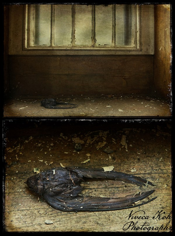Diptych of dead swallow in abandoned asylum. Blog post on this photograph: http://www.vivecakohphotography.co.uk/2011/01/fiery-the-angels-fell/ (Viveca Koh LRPS)