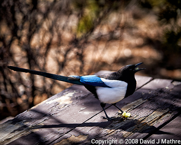 Black-billed Magpie eating scraps on a picnic table at Endovalley in Rocky Mountain National Park. Image taken with a Nikon D3 camera and 70-200 mm f/2.8 VR lens (ISO 200, 125 mm, f/2.8, 1/1600 sec). (David J Mathre)